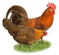 Bild Chicken