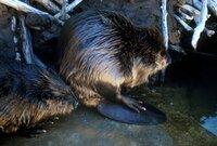 Bild Beaver