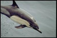 Bild Dolphin