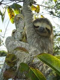 Bild Sloth