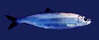 Bild Fish