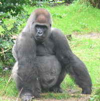 Imagen Gorilla