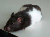 Bild Hamster