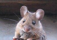 Bild Mouse