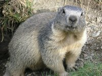 Bild Groundhog