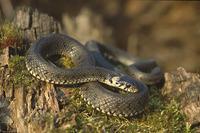image Snake